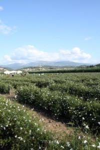 jasminefarm