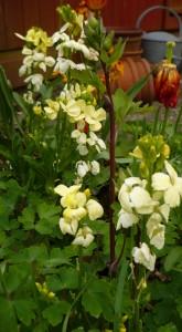 160513creamwallflower