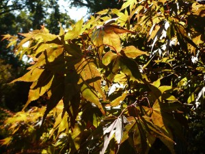 050913mapleleaves