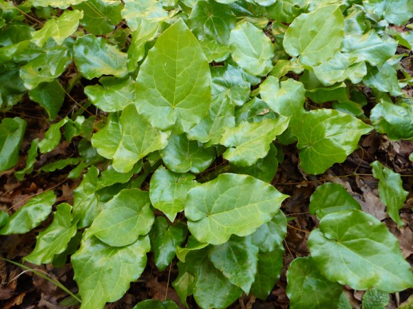 wintergreenepimedium