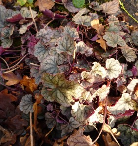 wintergreenheuchera