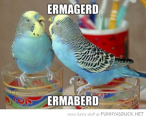 funny-budgie-bird-looking-mirror-ermahgerd-ermaberd-pics.jpg