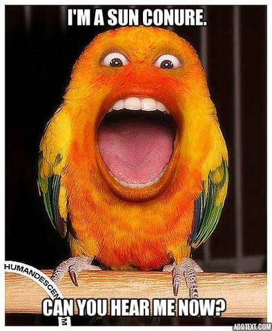 sun_conure_annoying