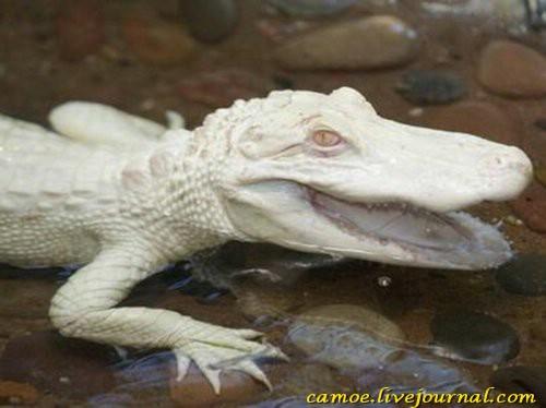1361945690_zhivotnye-albinosy-1