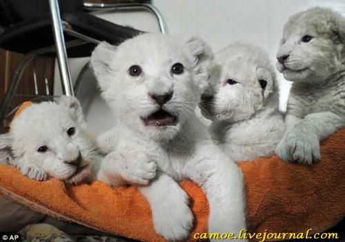 1361945651_zhivotnye-albinosy-4