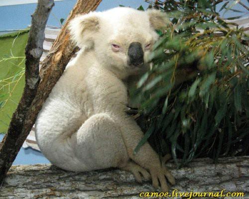 1361945656_zhivotnye-albinosy-10