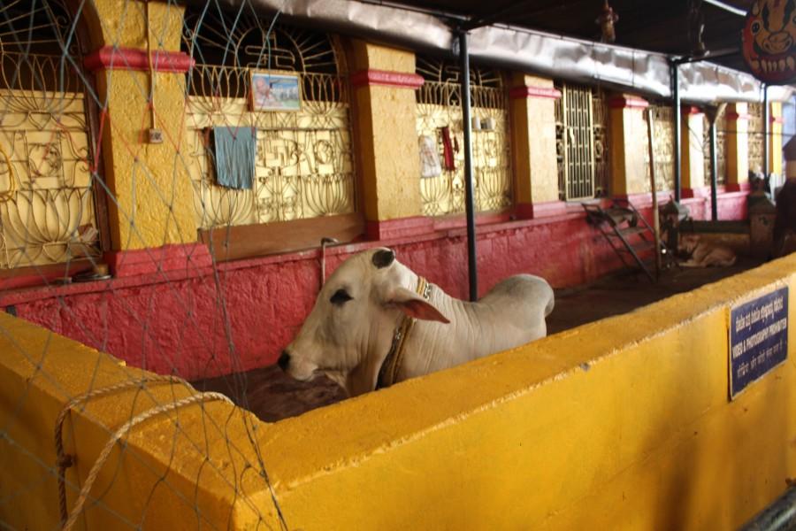 Священный бык... Или его потомок.. Нандин (санскр. नन्दिन्, Nandin, «счастливый») или Нанди — в индуистской мифологии слуга и друг Шивы. Нандин считается символом и ваханой Шивы и часто изображается в индуистской иконографии как белый бык или существо с бычьей головой. Часто встречаются изображения вриша-вахана, в которых руки Шивы как бы лежат на отсутствующем быке Нандине. Его статуи находятся во многих шиваитских храмах. Скульптура Нандина в этих храмах обычно ставится перед входом, головой к алтарю. Этим бык воплощает бхакта Шивы. В южноиндийских и тямских храмах Нандин изображается как бык, лежащий против главной молельни храма. Во время тандавы этого бога именно Нандин сопровождает его танец своей музыкой. Иногда Нандина рассматривают как зооморфный образ самого Шивы, так как последний часто изображался на индийских монетах быком. Нандин, когда он является индивидуальным объектом почитания, выражает идеи сексуальной мощи, деторождения и плодородия. Выступает он также и как охранник всех четвероногих животных и предводитель ганов, прислужников Шивы. Согласно «Ваю-пуране» Нандин является сыном Кашьяпы и Сурабхи. В других пуранах описывается, что Нандин появился из правой стороны Вишну и был дан как сын мудрецу Шаланкаяне, или что он сын мудреца Шилады, дарованный ему Шивой. Иногда именуется Нандикеша или Нандикешвара. Под этими именами в «Рамаяне» он проклял Равану за то, что тот назвал его «обезьяной»