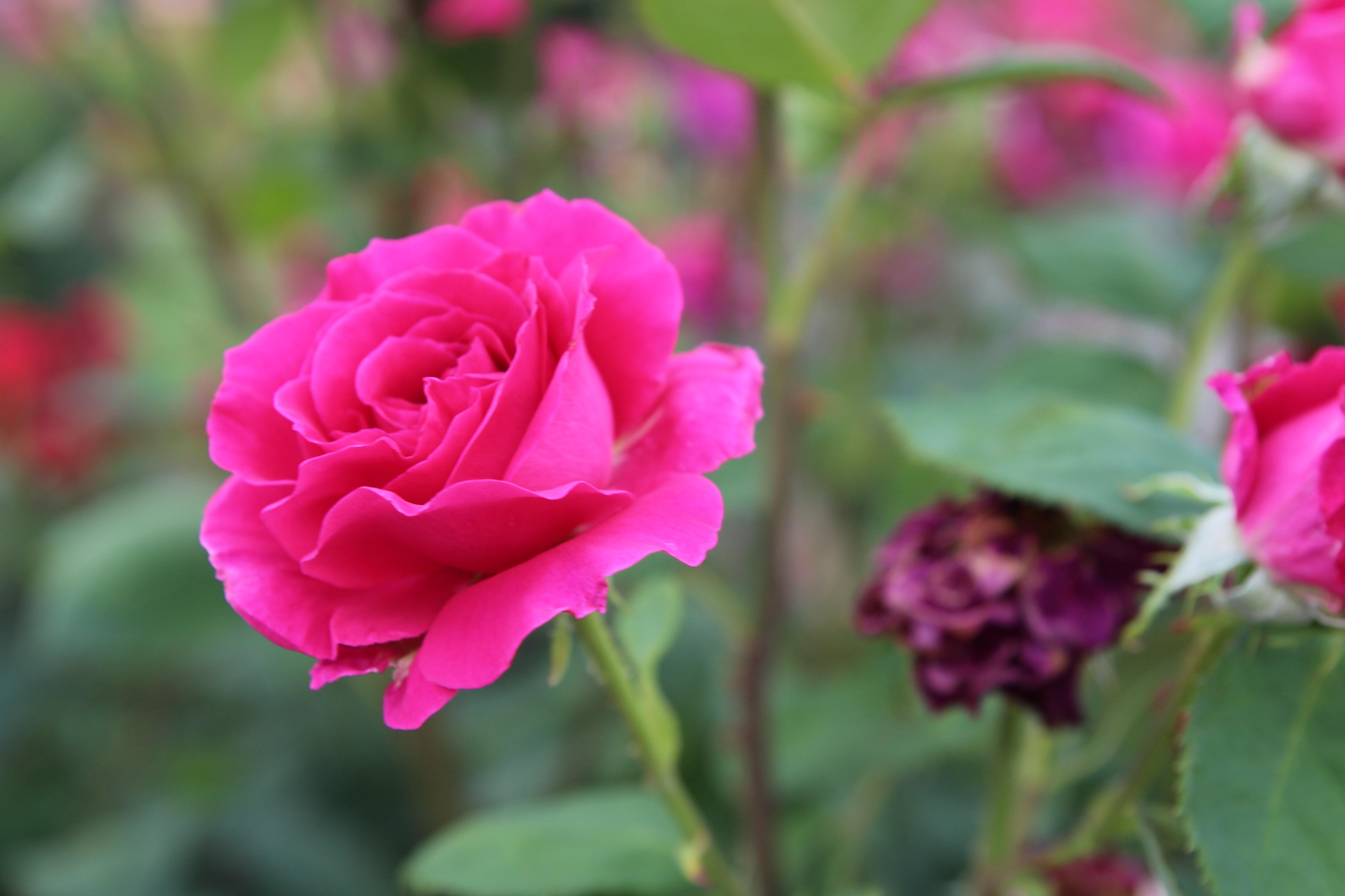 За каждый букет и за каждый цветок Я людям признателен чуть не до гроба. Люблю я цветы! Но средь них особо Я эту вот розу в душе сберег.