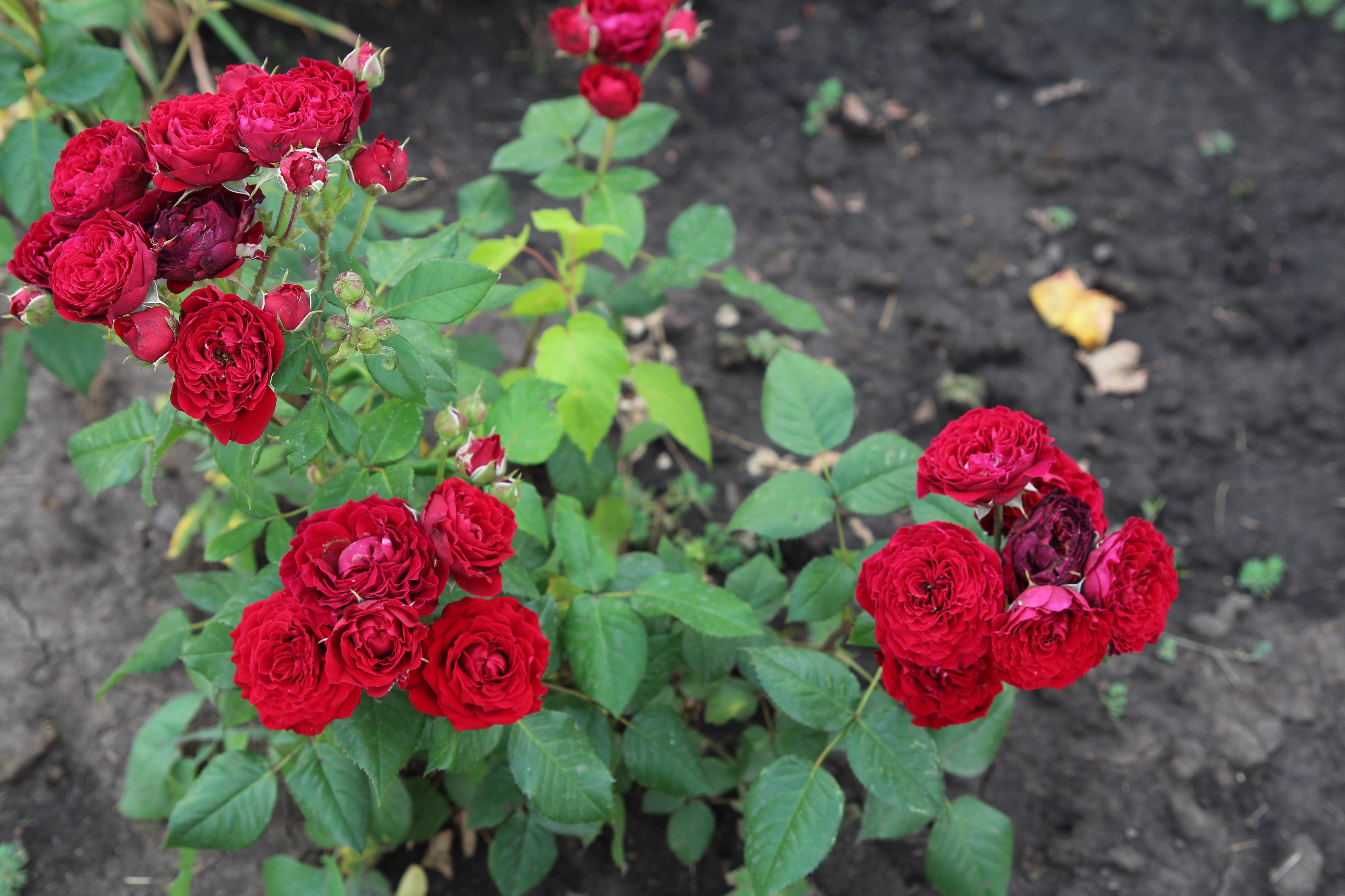Перед воротами Эдема Две розы пышно расцвели, Но роза — страстности эмблема, А страстность — детище земли.