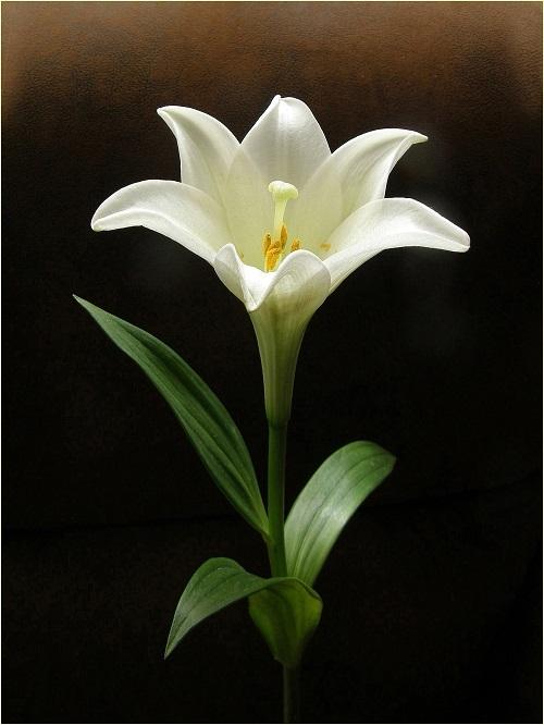 гадалка лилия