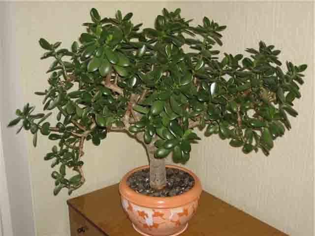 денежное дерево1