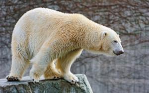 гадалка белый медведь