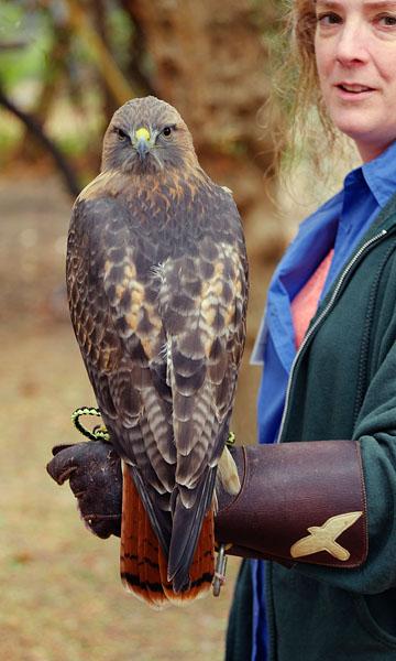 Red-tail hawk at California Raptor Center. Oct 2016.