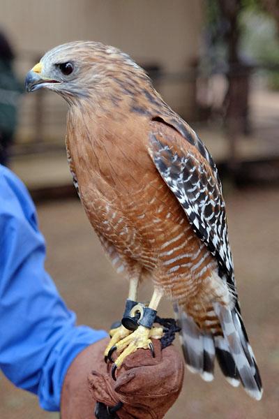 Red-shoulder hawk, California Raptor Center. Oct 2016.