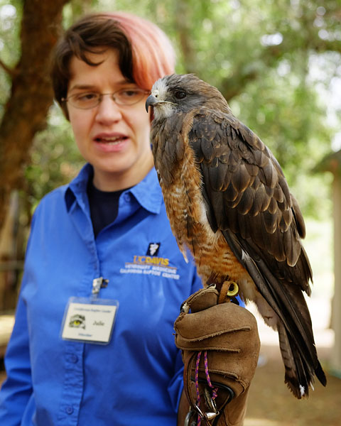 Swainsons hawk and handler, California Raptor Center. Oct 2016.