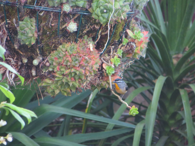 spotted_pardalote_closer.jpg