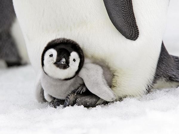 pingvinenok-malysh-pticy