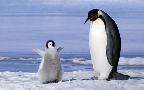 big_8236_oboi_radostnyj_pingvinjonok