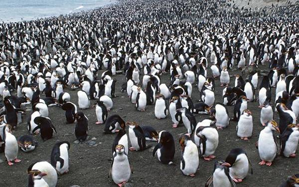 1093857_so-many-penguins_620