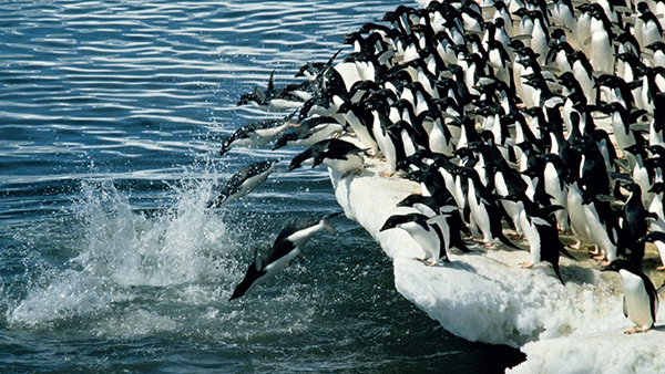 Penguins-Jumping-into-the-Sea-Brave-in-Heart-and-Graceful-in-Pose-You-Are-Good-HD-Cute-Penguin-Wallpaper-