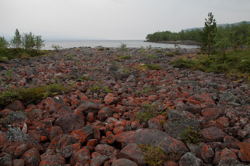 красный лишайник Кольский полуостров