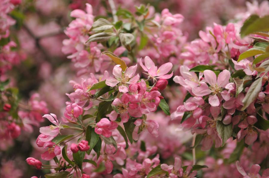 Pommier à fleurs en fleurs