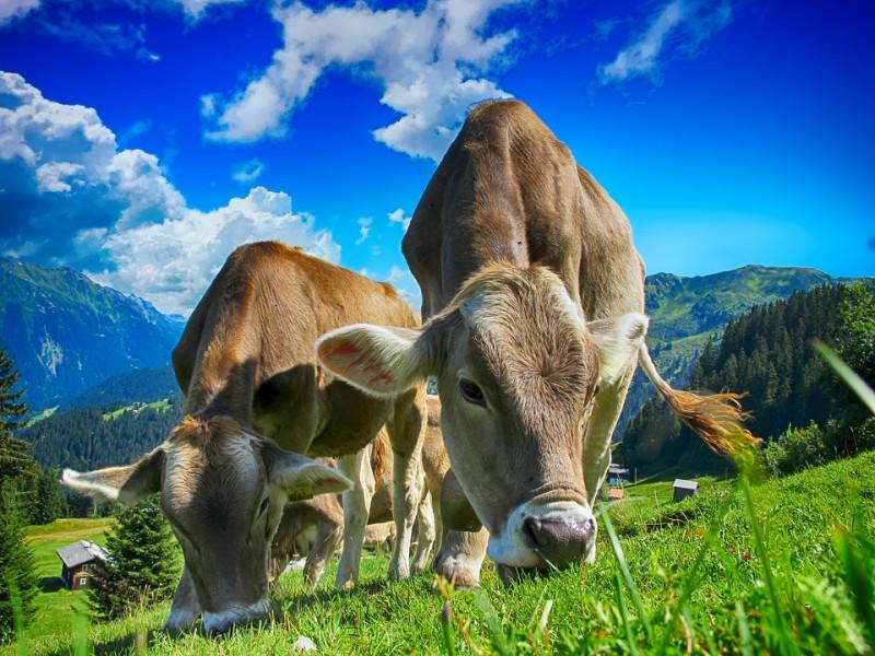 cows-2641195_960_720