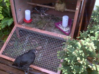 The girls in the chicken coop