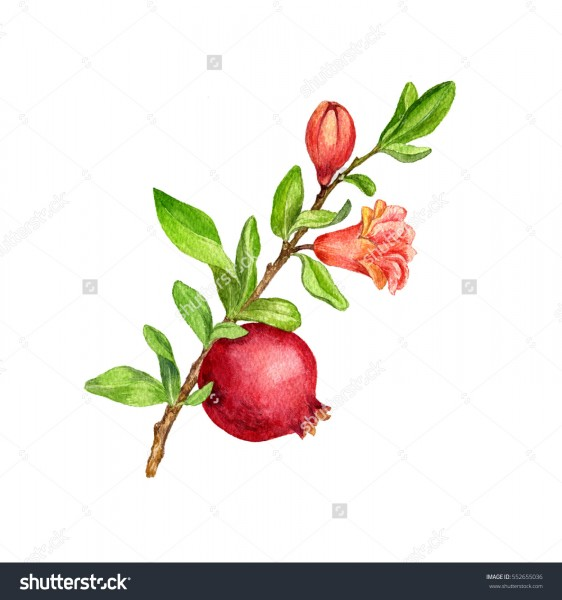 stock-photo-pomegranate-tree-branch-with-fruit-leaves-buds-and-flower-drawing-by-watercolor-isolated-hand-552655036