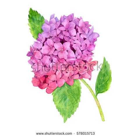 stock-photo-watercolor-pink-hydrangea-with-green-leaves-drawing-at-white-paper-background-578015713