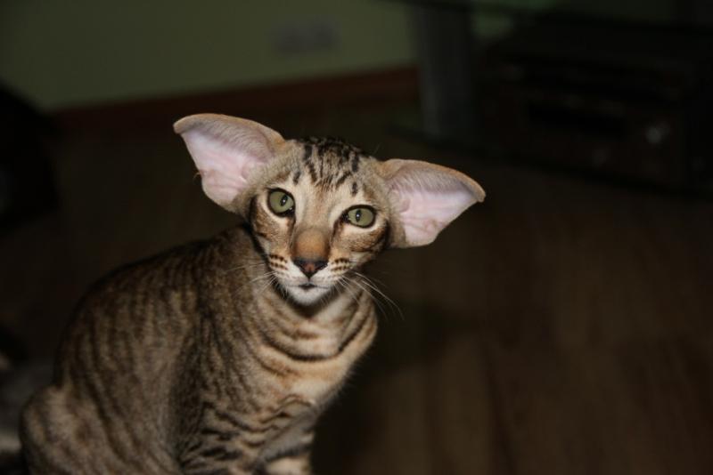 Эльф кошка фото