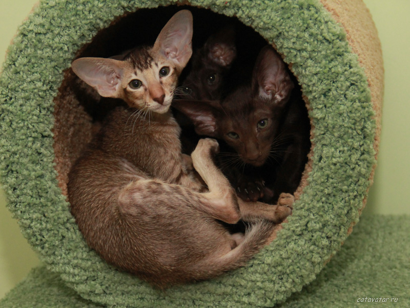 Кошки эльфы