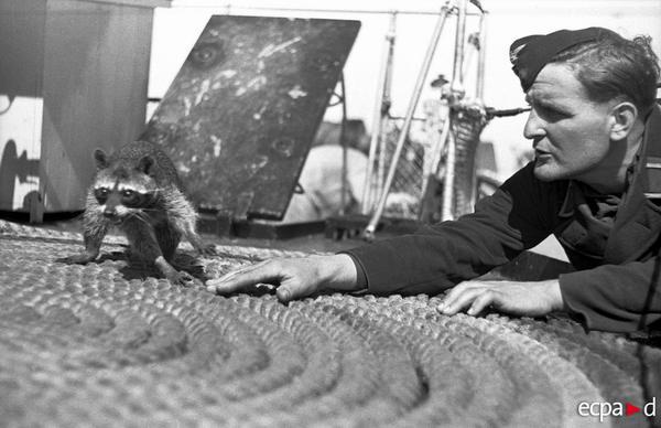 Енот полоскун талисман корабля Орион авг 1941