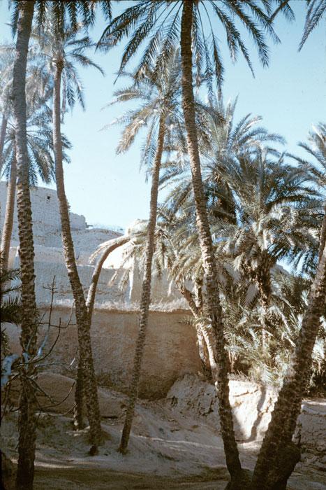 В пальмовой роще Феркана