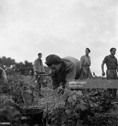 работа на винограднике 1940.jpg