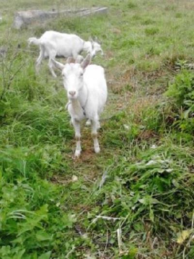 козы.jpg