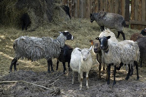 овцы.jpg