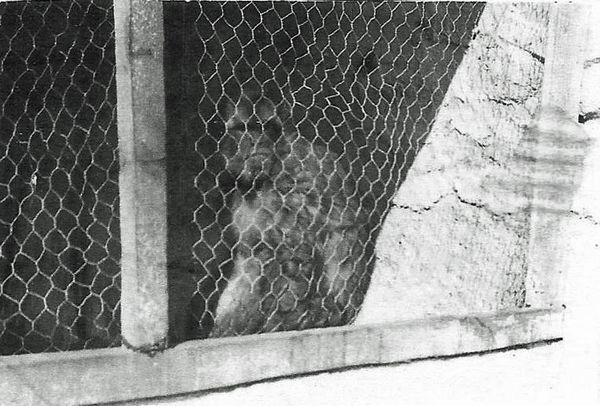 Талисман отряда Чита обезьяна 1961.jpg