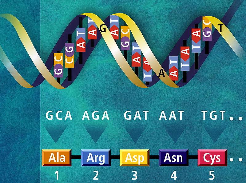 800px-Genetický_kód