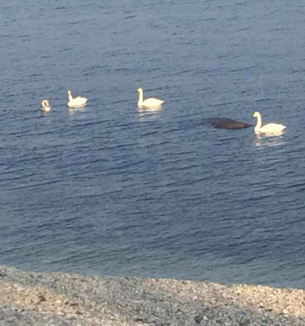 Лебеди в Новороссийске