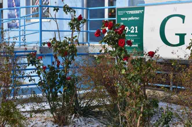 Новороссийские зимние розы