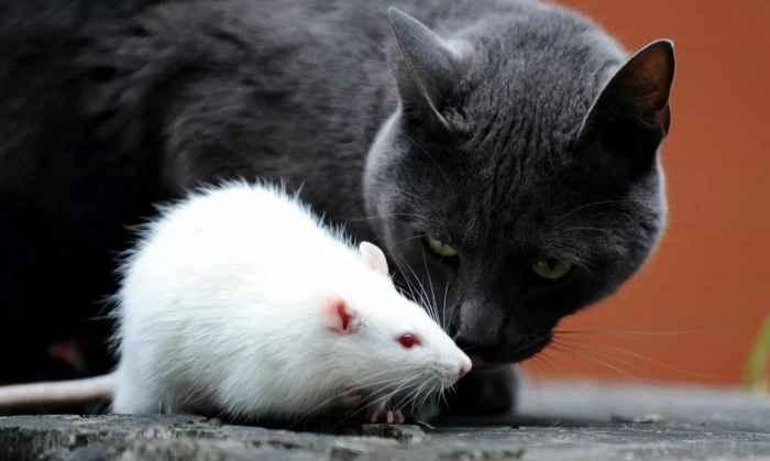 Про крыс
