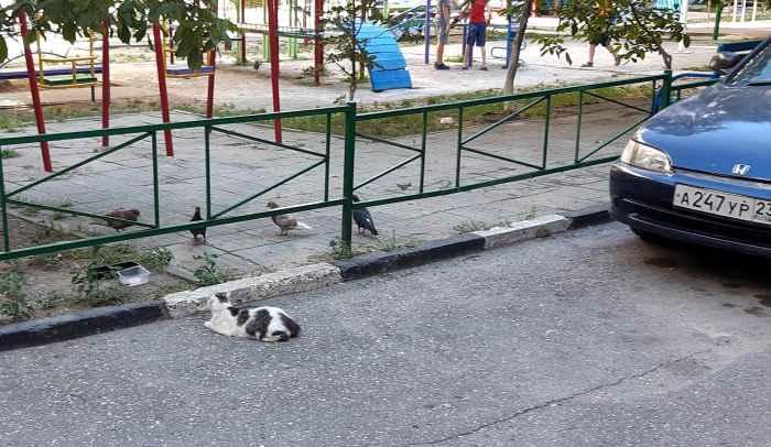 Кошка и голуби