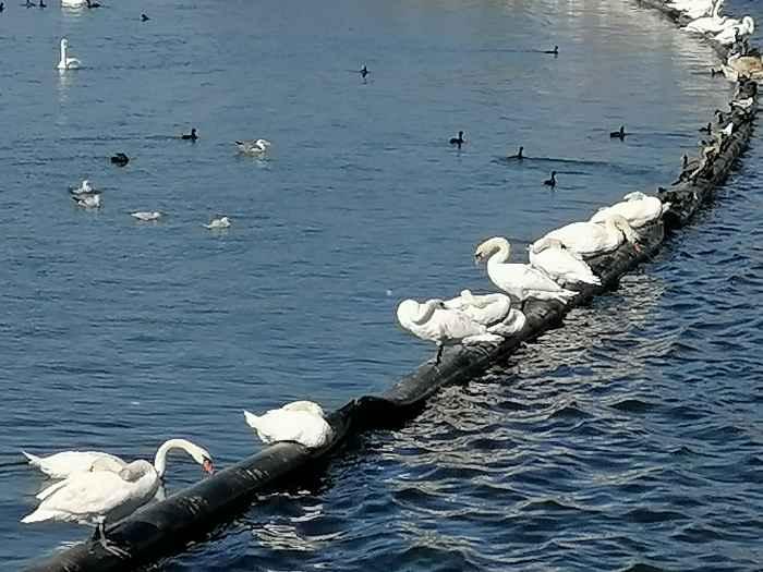 Лебеди и морские уточки