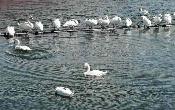 Лебеди в Констанце