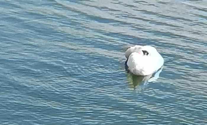 Дрейфующий лебедь