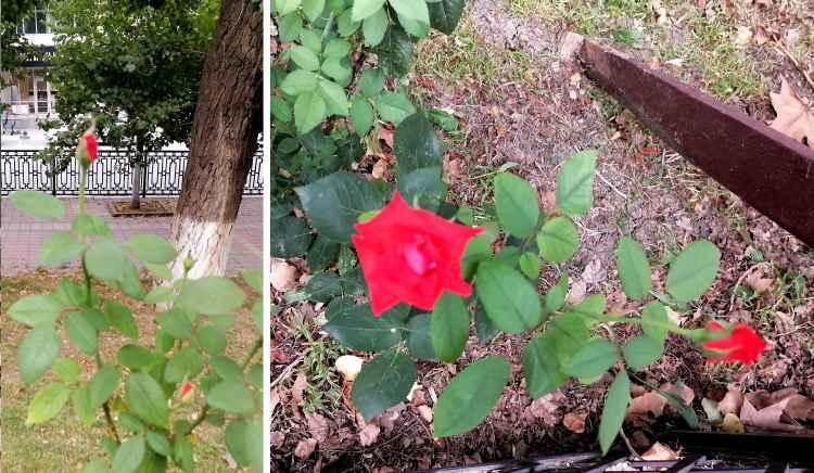Розы в Новороссийске