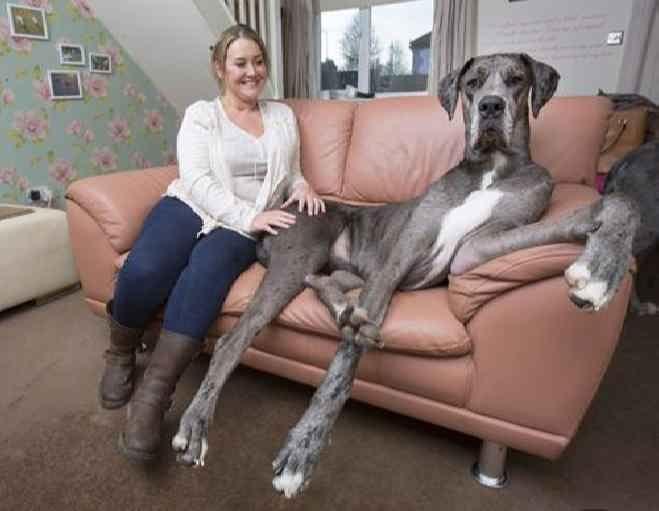 Самый большой пес Великобритании