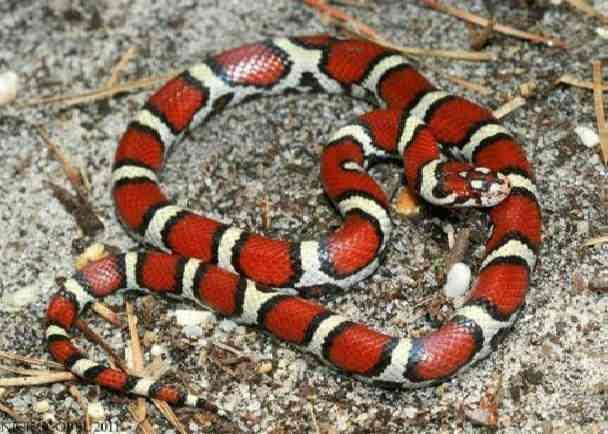 Молочная змея