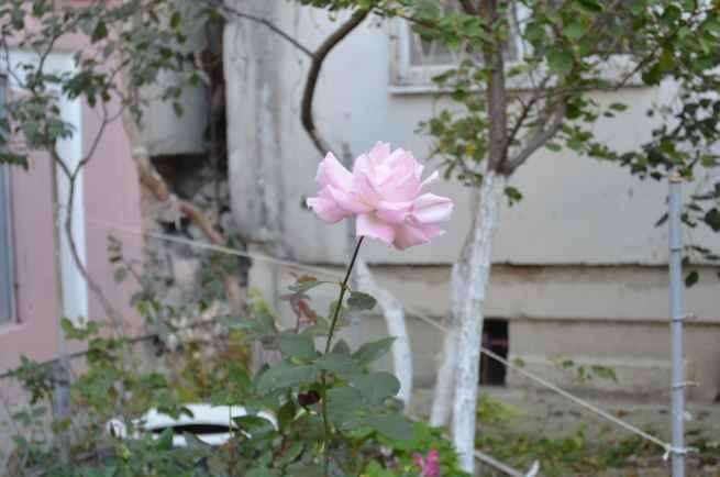 Роза в Новороссийске
